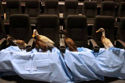 #27 - IMAGE: Get your ducks in a row. 4 of them. But they must be live ducks in movie theater seats. You may only use pet ducks. You may not harm them in any way.